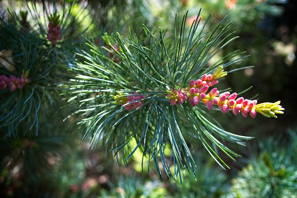 Pinus parviflora 2020/05/17