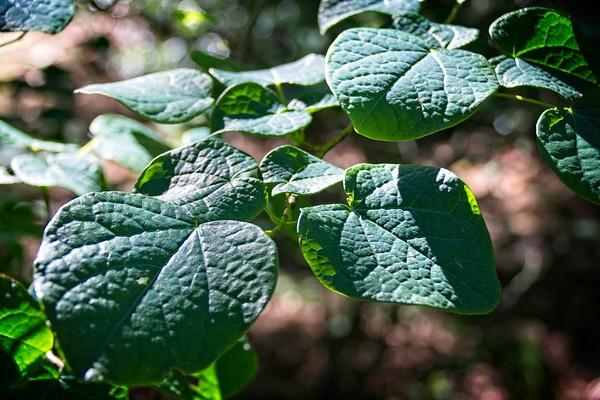 Disanthus cercidifolius 2020/05/30