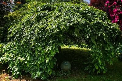 Carpinus betulus 'Pendula' 2020/05/17