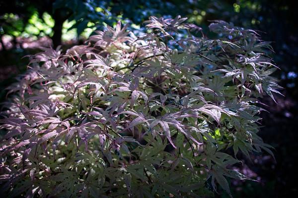 Acer palmatum 'Geisha' 2020/05/30