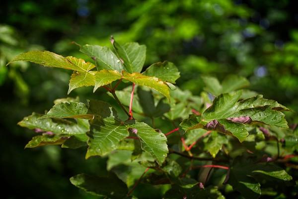 Acer griseum x pseudoplatanus 'Purple Haze'  2020/05/30