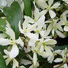 Clematis armandii 'Snow Drift'<br /> March 29th