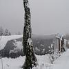 Sequioadendron giganteum 'Pendulum'