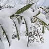 Notholithocarpus densiflorus f  attenuato-dentatus