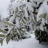 Quercus hypoleucoides 2