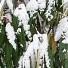Schefflera delavayi 2