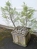 """<FONT COLOR=""""red"""">Tsuga mertensiana</FONT> <I><FONT SIZE=1>September 16th 2006</FONT></I>  Also came across this beat up Mountain Hemlock. Couldn't resist it so I dropped it into an old cedar box."""
