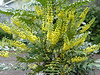 """The Mahonia are in full flower now! You can check out our <A HREF=""""http://guy.smugmug.com/gallery/4078642"""">Mahonia Gallery</A> for more photos. <FONT SIZE=1>December 24 - 2007.</FONT>"""