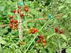 """<FONT COLOR=""""red"""">Red Currant Tomatoe</FONT> <I><FONT SIZE=1>September 15th 2006</FONT></I>  We grew 12 Heirloom Tomatoes in the garden this year. Some we will deffinately grow again, others we won't!!  <BR><A HREF=""""http://guy.smugmug.com/gallery/1895141""""><FONT COLOR=""""red"""">You can see them here:</FONT></A>"""