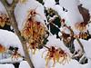 """Hamamelis x intermedia 'Jelena'. January 27th 2008 <A HREF=""""http://guy.smugmug.com/gallery/4237827"""">More Photos Here</A>"""
