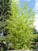 "<FONT COLOR=""red"">Phyllostachys dulcis</FONT> <I><FONT SIZE=1>October 7th 2006</FONT></I><BR>  Growing in a 30"" cedar box."