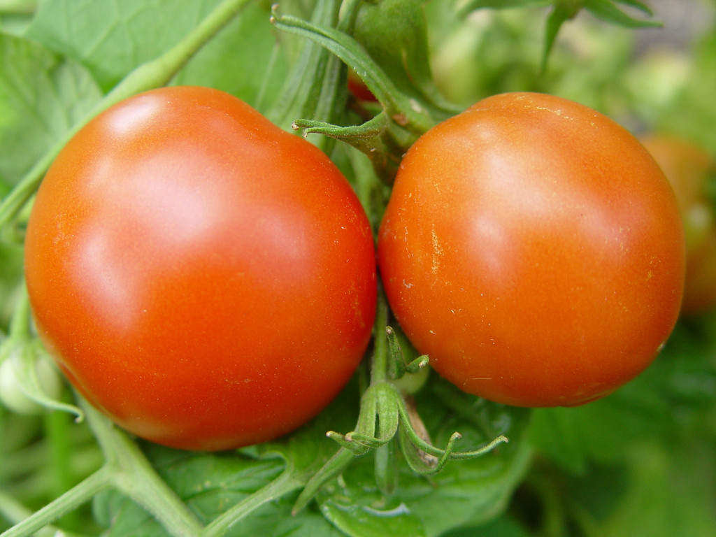 Sub Arctic Plenty:<br /> <br /> Was a great producer of bright red medium sized fruit. Good flavour.