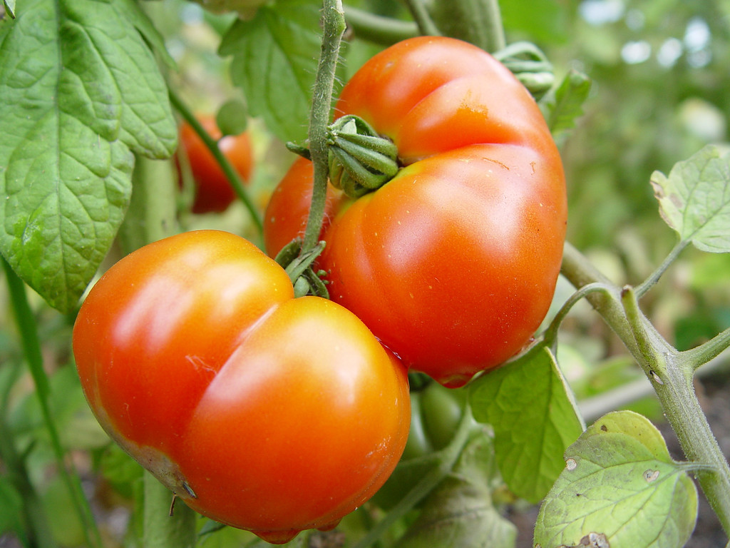Costoluto Florentino:<br /> <br /> Good producer of medium sized meaty tomatoes. Good flavour little disease.