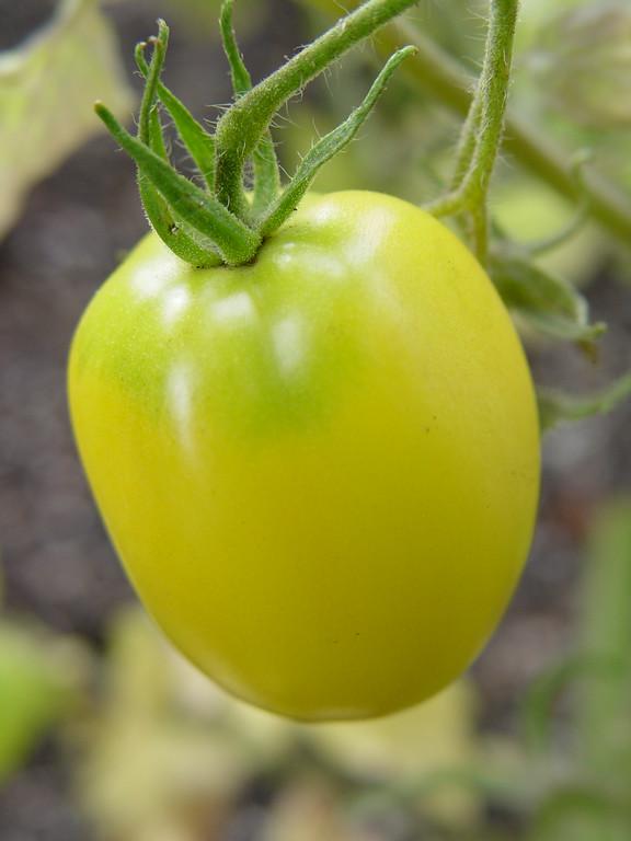 Ivory Egg:<br /> <br /> A great medium sized yellow tomatoe, good taste.