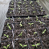 Tomato plants are transplanted!<br /> 4/8/12