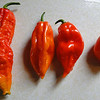Promiscuous Peppers!<br /> The middle two peppers were harvested off a plant that was grown from Ghost Pepper seed I collected last year, We always grow the Habaneros & Ghost Peppers next to each other. They sure look to be about half way between the Ghost Pepper on the left & the Habanero on the right!