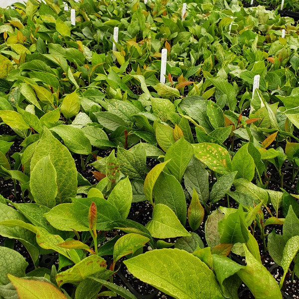 Stewartia cuttings