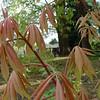 Aesculus neglecta 'Erythroblastos'