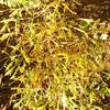 Aesculus hipocastanum 'Lacineatum'
