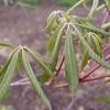 Aesculus mutabilis 'Induta'