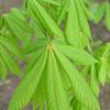 Aesculus hipocastanum 'Umbraculifera'