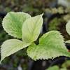 Hydrangea anomala petiolaris 'Early Light'