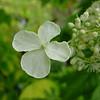 Hydrangea anomala petiolaris 'Mirranda'