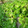 Hydrangea anomala petiolaris 'Platt Dwarf'