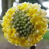 Edgeworthia Chrysantha 'Nioi'