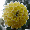 "Edgeworthia Chrysantha ""Nanjing Form"""