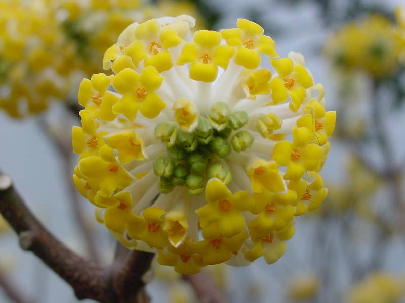 Edgeworthia Chrysantha 'Gold Rush'