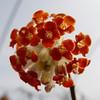 Edgeworthia Chrysantha 'Akabana' 曙