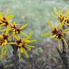 Hamamelis x intermedia 'De Belder'