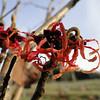 Hamamelis x intermedia 'Carmine Red'