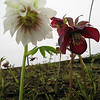 "Helleborus x hybridus ""Plantmad Doubles & Singles"""