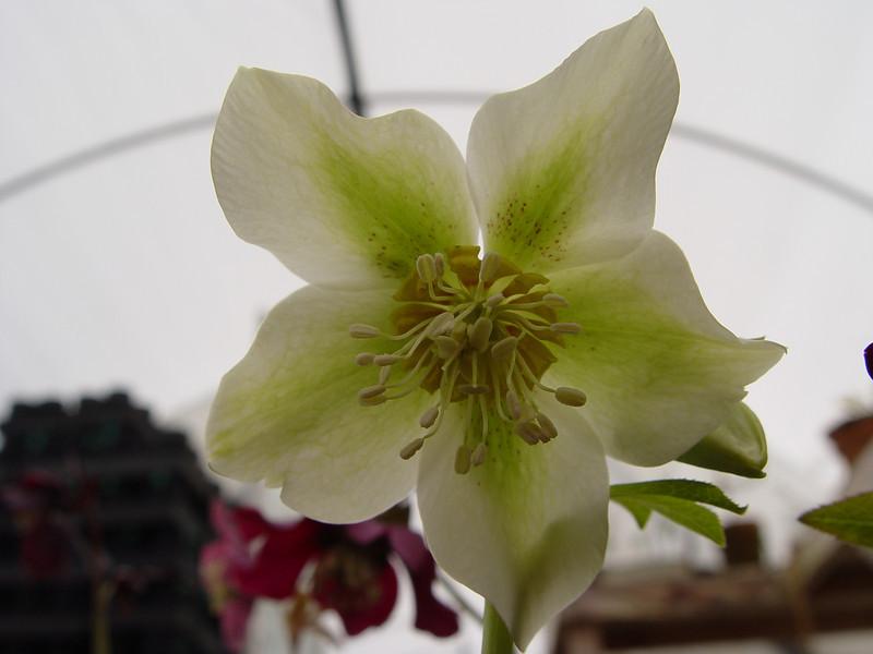 """Helleborus x hybridus """"Plantmad Singles"""""""