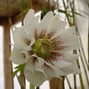 "Helleborus x hybridus ""Plantmad Double"""