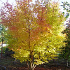 Acer palmatum 'Sangogaku'