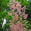 Acer palmatum 'Beni Shishihenge'
