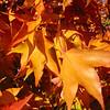 Acer palmatum 'Tana'