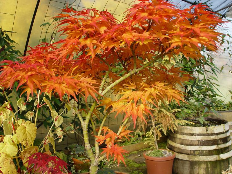 Acer Section Palmata Chiyoko Guys Photo Site