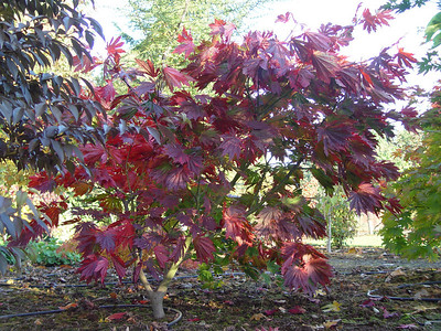 Acer (Section Palmata)