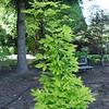 Acer triflorum 'Aureum'