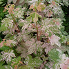 Acer platanoides 'Eskimo Sunset'