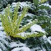 Mahonia x media 'Winter Sun'
