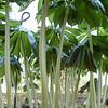 Podophyllum peltatum x pleianthum