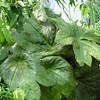 Podophyllum delavayi x plieanthum