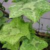 Podophyllum difforme