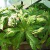 Podophyllum delavayi