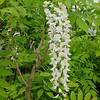 Wisteria floribunda 'Longissima Alba'<br /> A great white flowering form. White flowering forms of Witeria are hopelessly mixed up in the trade! We believe we have narrowed our clone of 'Longissima Alba' down to the real thing!